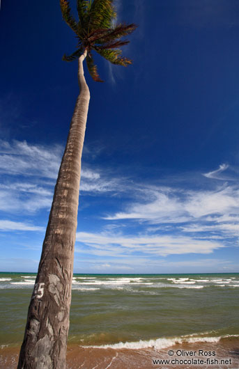 Coconut palm growing on Itacimirim beach