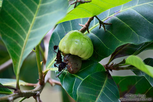 Caju fruit on tree in Len��is