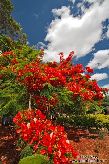 Flamboyant tree near Len��is