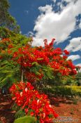 Travel photography:Flamboyant tree near Len��is, Brazil