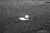 Travel photography:Two swans, Germany