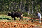 Travel photography:Man ploughing the field near Vi�ales, Cuba