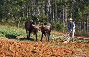 Vinales-ploughing-the-field-3551, Cuba