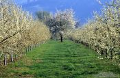 Travel photography:Orchard near Ortenberg at the foot of the Black Forest, Germany