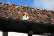 Travel photography:White pigeon on the Wartburg Castle, Germany