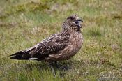 Travel photography:Great Skua (Stercorarius skua) at the Ing�lfsh�f�i bird colony, Iceland