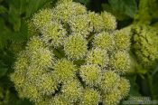 Travel photography:Angelica archangelica plant near Skaftafell, Iceland