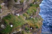 Travel photography:Nesting sea gulls at the Cliffs of Moher , Ireland