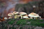 Travel photography:Forest mushroom city of Sulphur Tufts (Hypholoma fasciculare), Germany