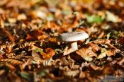 Forest mushroom on autumn leaves, Germany