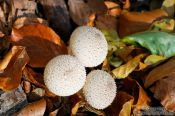 Travel photography:Woodland puffballs (Lycoperdon perlatum), Germany