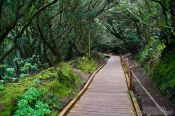 Laurisilva forest in Anaga Rural Park on Tenerife, Spain