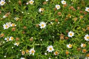 Small mountain daisies on the Anaga peninsula, Spain