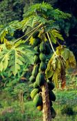 Travel photography:Papaya tree in Northern Thailand, Thailand