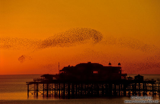 Birds playing over Brighton Pier