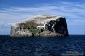 Bass Rock with large Gannet colony and light house, United Kingdom (Scotland)
