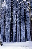 Frozen pine trees, Germany