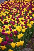 Travel photography:Tulips in Vienna's Stadtpark, Austria