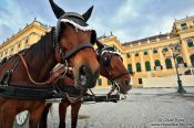 Travel photography:Schönbrunn palace with horses , Austria
