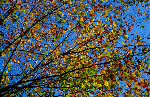 Tree branches in autumn colour against the sky