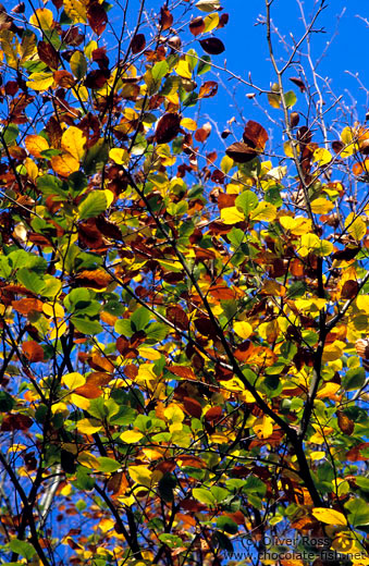 Tree branches with leaves in autumn colour
