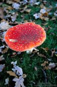 Travel photography:Toadstool (amanita muscaria), Netherlands
