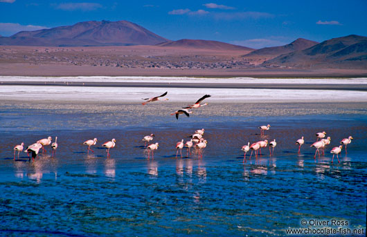 Flamingoes feeding in Laguna Colorada