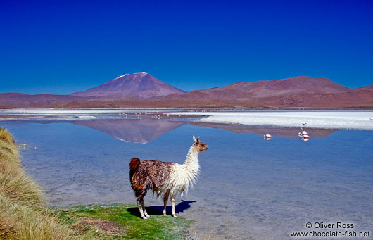 Llama and flamingos at Laguna Hedionda