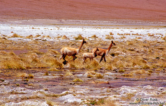 Three vicuñas