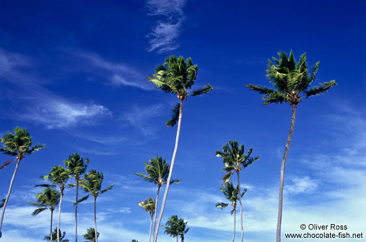 Coconut palms against the sky on Itacimirim beach