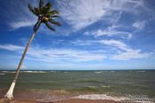 Travel photography:Coconut palm on Itacimirim beach , Brazil