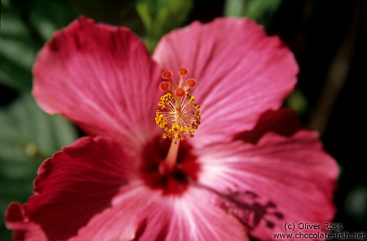 Hibiscus flower close-up in Ouro Preto