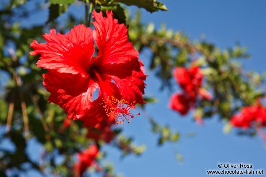 Red hibiscus flower in Lençóis