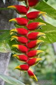 Travel photography:Heliconia pendula near Lençóis, Brazil