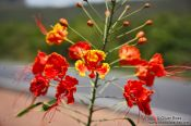 Travel photography:Flower of a flamboyant tree near Lençóis, Brazil