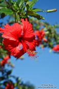 Travel photography:Hibiscus flower near Lençóis, Brazil