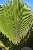 Travel photography:Giant palm leaf in Lençóis, Brazil