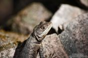 Travel photography:Lizard near Lençóis, Brazil