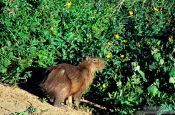 Travel photography:A capivara (capybara) in the Pantanal, Brazil