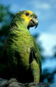 Travel photography:Parakeet, Brazil