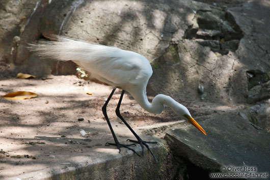 A Great Egret hunting in a Rio park