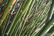 Travel photography:Bamboo in the Botanical Garden in Rio, Brazil