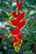 Travel photography:Flower of the Lobster Claw Heliconia plant (Heliconia rostrata) in the Botanical Garden in Rio, Brazil