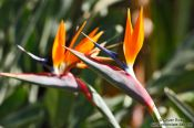 Travel photography:Birds of paradise in the Botanical Garden in Rio, Brazil