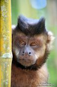 Travel photography:A tufted capuchin monkey or macaco-prego (Cebus apella) sitting in bamboo in Rio´s Botanical Garden, Brazil
