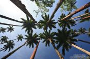 Travel photography:Tall Royal palms (Roystonea) within Rio´s Botanical Garden, Brazil