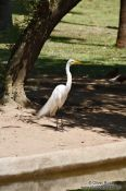 Travel photography:A great egret in a park in Rio de Janeiro, Brazil