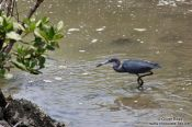 Travel photography:A heron looking for prey near Cabo Frio, Brazil