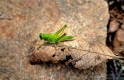 Travel photography:Grasshopper in Belo Horizonte, Brazil