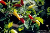Travel photography:Chilli tree, Ouro Preto, Brazil